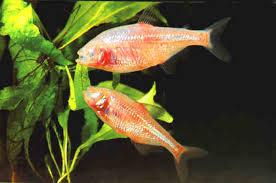 http://badmanstropicalfish.com/stats/characins_stats/stats_characins3g.html