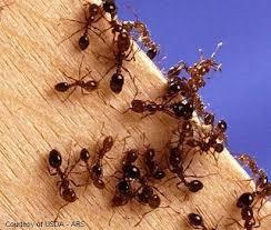 http://agspsrv34.agric.wa.gov.au/Ento/icdb/speciescompout.IDC?Entergenusorspecies=red